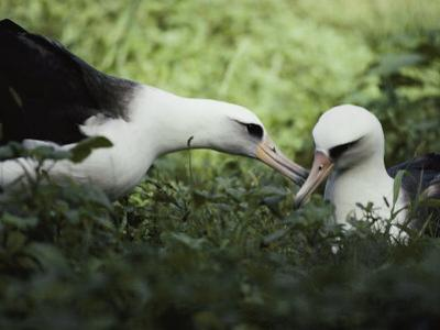 Gentle Greeting, Demure Response Mark the Courtship of the Laysan Albatross by William Allen