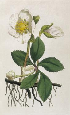Black Hellebore or Christmas Rose Used to Cure Mental Afflictions Since 1400 Bc by William Curtis