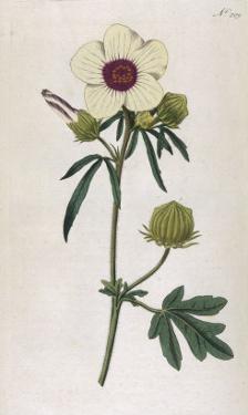 Bladder Hibiscus by William Curtis