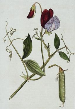 Botanical Illustration of Sweet Pea in Bloom by William Curtis