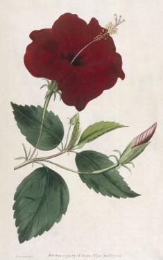 China Rose Hibiscus by William Curtis