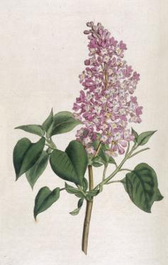 Common Lilac by William Curtis