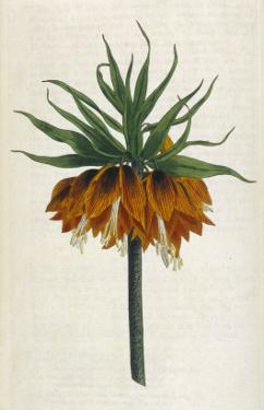 Crown Imperial by William Curtis