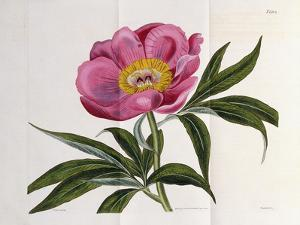 Illustration, Number 2264, from 'The Botanical Magazine', 1787-1826 by William Curtis
