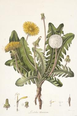 Leontoden Taraxacum from Flora Londinensis, 1777-1798 by William Curtis