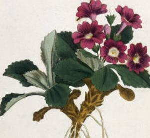 Mountain Primula by William Curtis