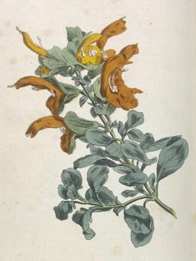Or Salvia Aurea Golden Sage or Sandsalie by William Curtis