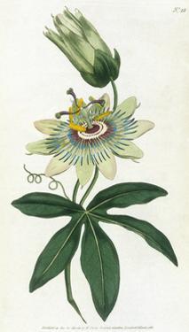 Passiflora Caerulea by William Curtis