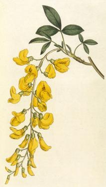 Plants, Cytisus Laburnum by William Curtis