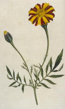 Plants, Tagetes Patula by William Curtis