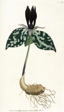 Plants, Trillium Cuneatum by William Curtis