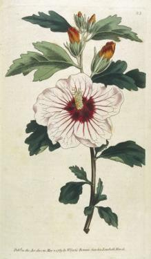 Syrian Hibiscus or Althaea Fruter by William Curtis