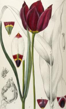Tulipa Cypria a Deep Red Tulip by William Curtis