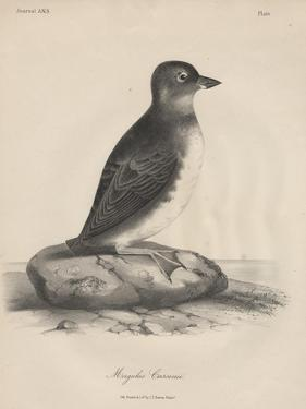 Megalus Cassinii, Litho by J.T. Bowen, 1850 by William E. Hitchcock