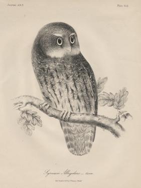 Syrnium Albogularis, 1850 by William E. Hitchcock
