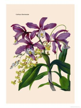 Orchid: Cattleya Harrisoniae by William Forsell Kirby