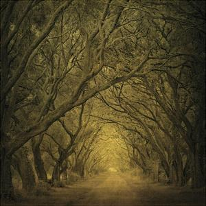 Evergreen Oak Alley (vertical view) by William Guion