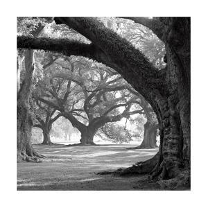 Oak Alley, West Row by William Guion