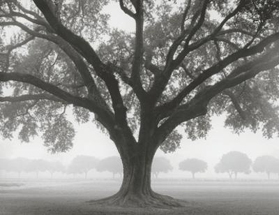Silhouette Oak by William Guion
