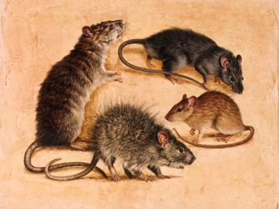 A Painting of Four Rat Species by William H. Bond