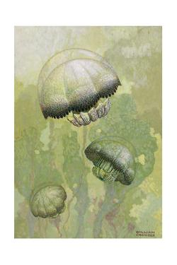 Painting of Several Stomolophus Meleagris Jellyfish by William H. Crowder