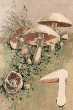 Agaricus Campestris by William Hamilton Gibson