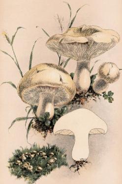 Agaricus Gambosus by William Hamilton Gibson