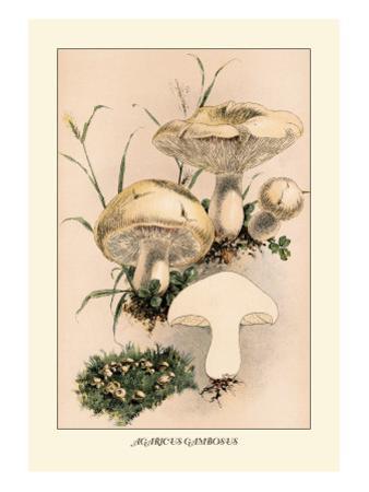 Agaricus Gambosus