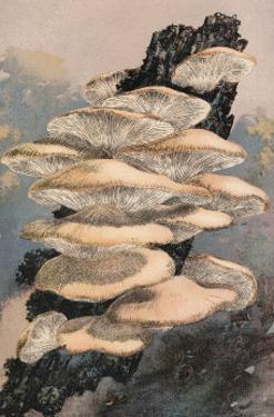 Agaricus Ostreatus by William Hamilton Gibson