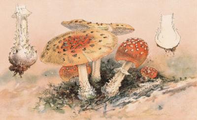 Amanita Muscaria Poisonous