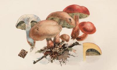 Boletus Subtomentosus and Boletus Chrysenteron
