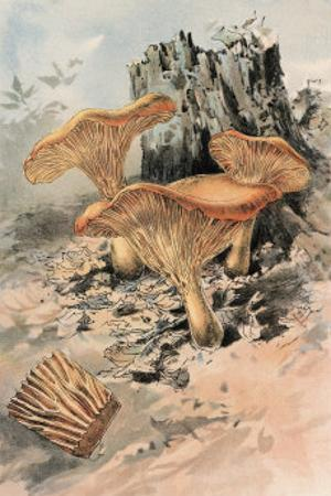 Canthareius Cibarius