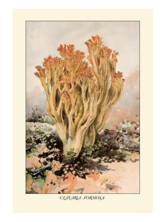 Clavaria Formosa