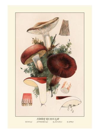 Edible Russucae