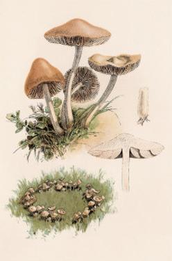 Marasmius Oreades by William Hamilton Gibson
