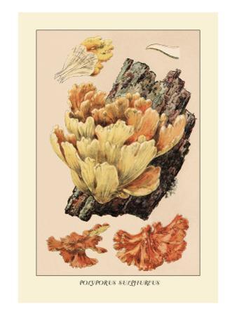 Polyporus Sulphureus