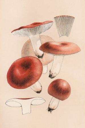 Russula Emetila
