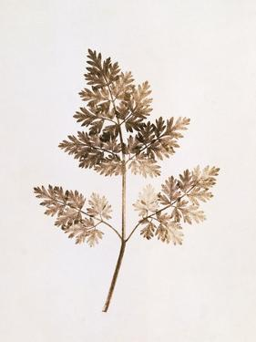 Fronds of Leaves by William Henry Fox Talbot