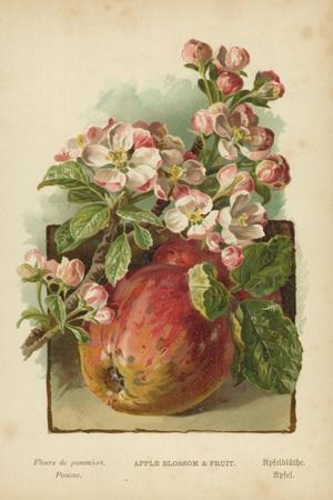 Apple Blossom and Fruit