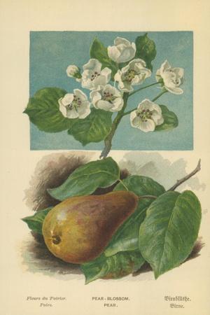 Pear-Blossom. Pear