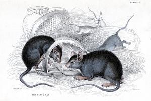 Engraving of Black Rat Caught in Trap, 1838 by William Jardine