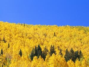 Aspen Trees on Mountainside by William Manning