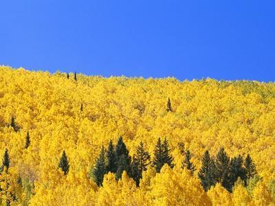 Aspen Trees on Mountainside