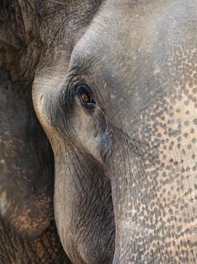 Close-up of Asian Elephant at Elephant Conservation Centre by William Manning