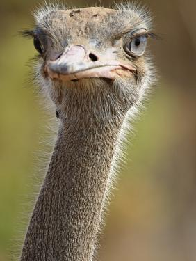 Common Ostrich by William Manning