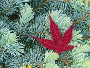 Japanese Maple Leaf on Evergreen by William Manning