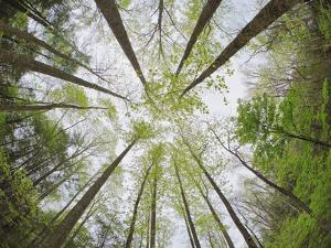View Towards Sky in Forest by William Manning