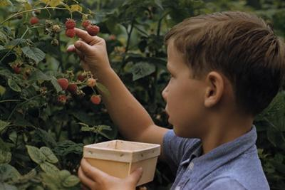Boy Picking Raspberries by William P. Gottlieb