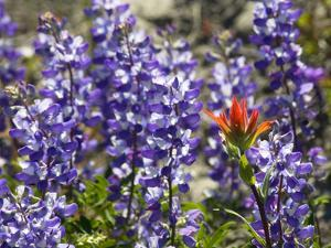 Alpine Wildflowers, Mount Saint Helens Volcano National Park, Washington State by William Perry
