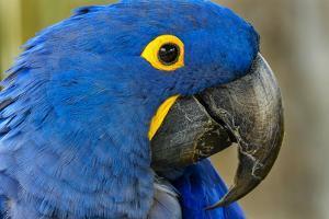 Blue Hyacinth Macaw, Anodorhynchus hyacinthinus. by William Perry